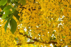 Golden shower tree in bloom Royalty Free Stock Photo
