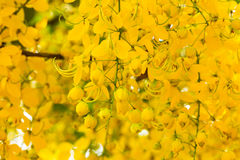 Golden shower tree in bloom Royalty Free Stock Photos