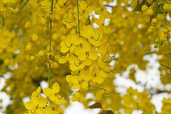 Golden Shower Tree Blossom Royalty Free Stock Photo