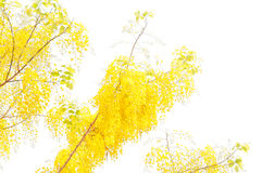 Golden shower tree Royalty Free Stock Image