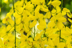 Golden Shower Tree or Cassia fistula Stock Photos