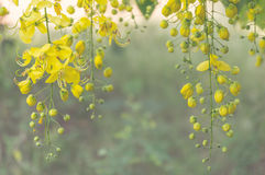 Golden Shower Tree or Cassia fistula Royalty Free Stock Images