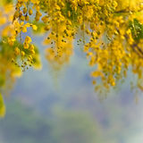Golden Shower Tree Royalty Free Stock Photos