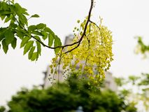 Golden Shower Tree, (Cassia Fistula) Stock Image