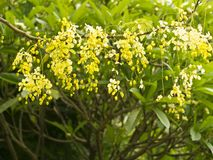 Golden Shower Tree, (Cassia Fistula) Royalty Free Stock Photo