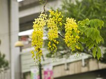 Golden Shower Tree, (Cassia Fistula) Royalty Free Stock Photos