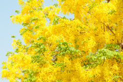 Golden shower tree. (Cassia fistula) with blue sky Stock Images