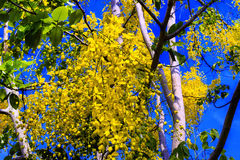 Golden Shower Tree. Stock Photos