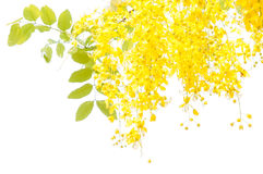 Golden shower tree. (Cassia fistula) isolated on white background Royalty Free Stock Photo