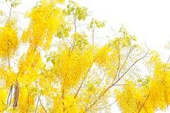 Golden shower tree Stock Image