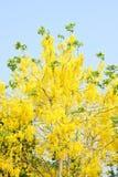 Golden shower tree (cassia fistula). Golden shower tree and sky Stock Photos