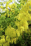Golden shower tree or Cassia fistula tree Royalty Free Stock Photos