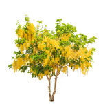 Golden shower tree (Cassia fistula). Tropical tree in the northeast of Thailand isolated on white background Stock Photos