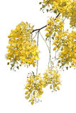 Golden shower tree (Cassia fistula) . Golden shower tree (Cassia fistula) on white background royalty free stock image