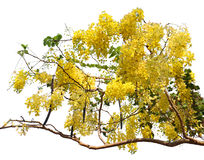 Golden shower tree (Cassia fistula) . Golden shower tree (Cassia fistula) on white background Stock Images