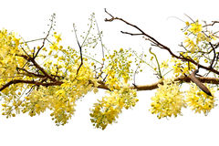 Golden shower tree (Cassia fistula) . Golden shower tree (Cassia fistula) on white background royalty free stock photos