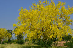 Golden shower tree in the field. With blue sky background Royalty Free Stock Image