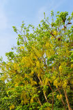 Golden shower tree Stock Images