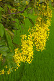 Golden Shower Tree, flowering laburnum. With its leaves, which are green rice was staged Stock Photography