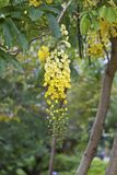 Golden shower tree flowers Stock Photography