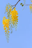 Golden shower tree flowers Stock Photos