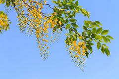 Golden shower tree flowers Royalty Free Stock Image