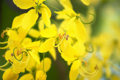 Golden shower Tree flowers Royalty Free Stock Photos