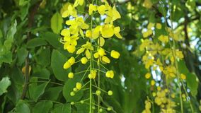 Golden Shower Tree Flowers Panning High Definition. Cassia fistula or golden shower tree yellow flowers, panning panoramic high definition stock footage video stock video footage