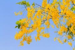 Golden shower tree flowers Stock Photos