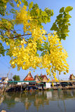 Golden Shower tree in front of the temple. Stock Images