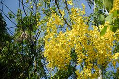 Golden Shower Tree. In garden Royalty Free Stock Photos