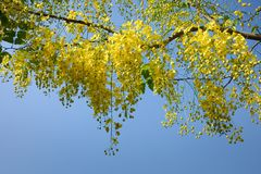 Golden Shower Tree. In garden Stock Photography