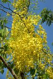 Golden Shower Tree. In garden Royalty Free Stock Photography
