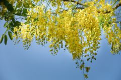 Golden Shower Tree. In garden Stock Images