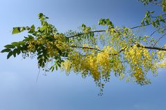 Golden Shower Tree. In garden Stock Image