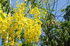 Golden Shower Tree. In garden Stock Photo