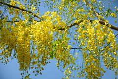 Golden Shower Tree. In garden Stock Photos