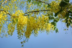 Golden Shower Tree. In garden Royalty Free Stock Images