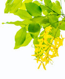 Golden Shower tree Royalty Free Stock Images