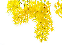 Golden Shower tree Stock Photography