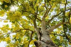 Golden shower tree Stock Photos