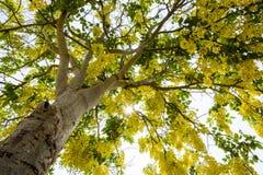 Golden shower tree Royalty Free Stock Photos
