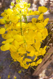 Golden Shower Tree. Royalty Free Stock Photography