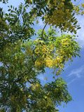 Golden shower tree making the environment beauty royalty free stock photography