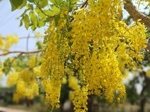 Cassia fistula, beautiful yellow, can be used as a background image. The golden shower tree is a medium-sized tree, growing to 10–20 m 33–66 ft stock photos