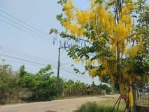 Cassia fistula, beautiful yellow, can be used as a background image royalty free stock photography