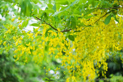 Golden shower tree. Royalty Free Stock Image