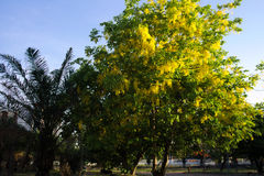 Golden shower tree in the park. Yellow flower bloomming in the park Stock Images