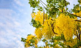 Golden Shower Tree or science name Cassia fistula Stock Photos