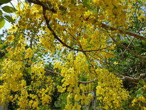 Golden shower tree. Golden shower  tree in Srilanka Stock Photo